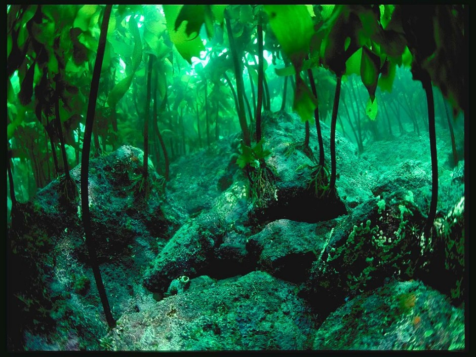Kelp_Forest_Wallpaper__yvt2