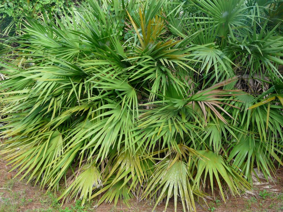 Saw Palmetto bush.