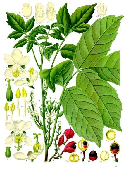 Paullinia_cupana_-_Köhler–s_Medizinal-Pflanzen-234