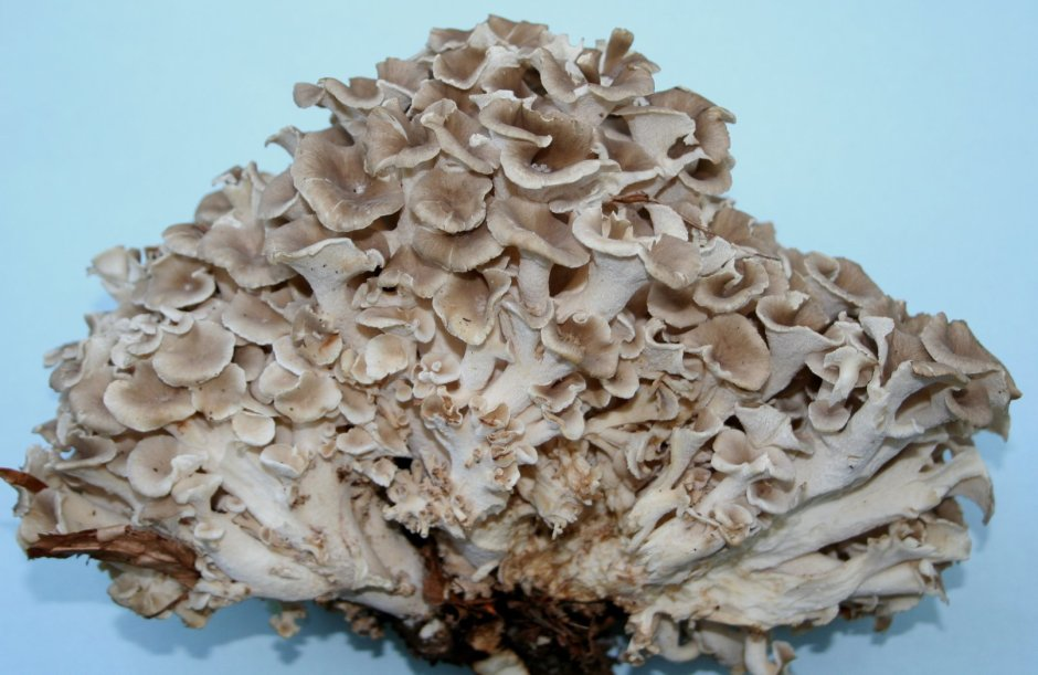 The branching structure of Umbrella Polypore.