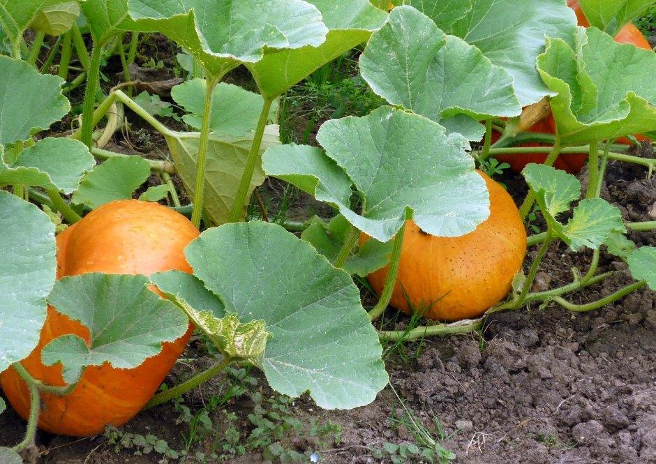 A patch of pumpkins