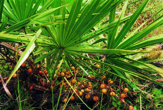 Saw Palmetto berries and leaves.