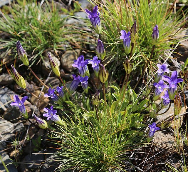 Gentianopsis_holopetala_Sierra_gentian_clump
