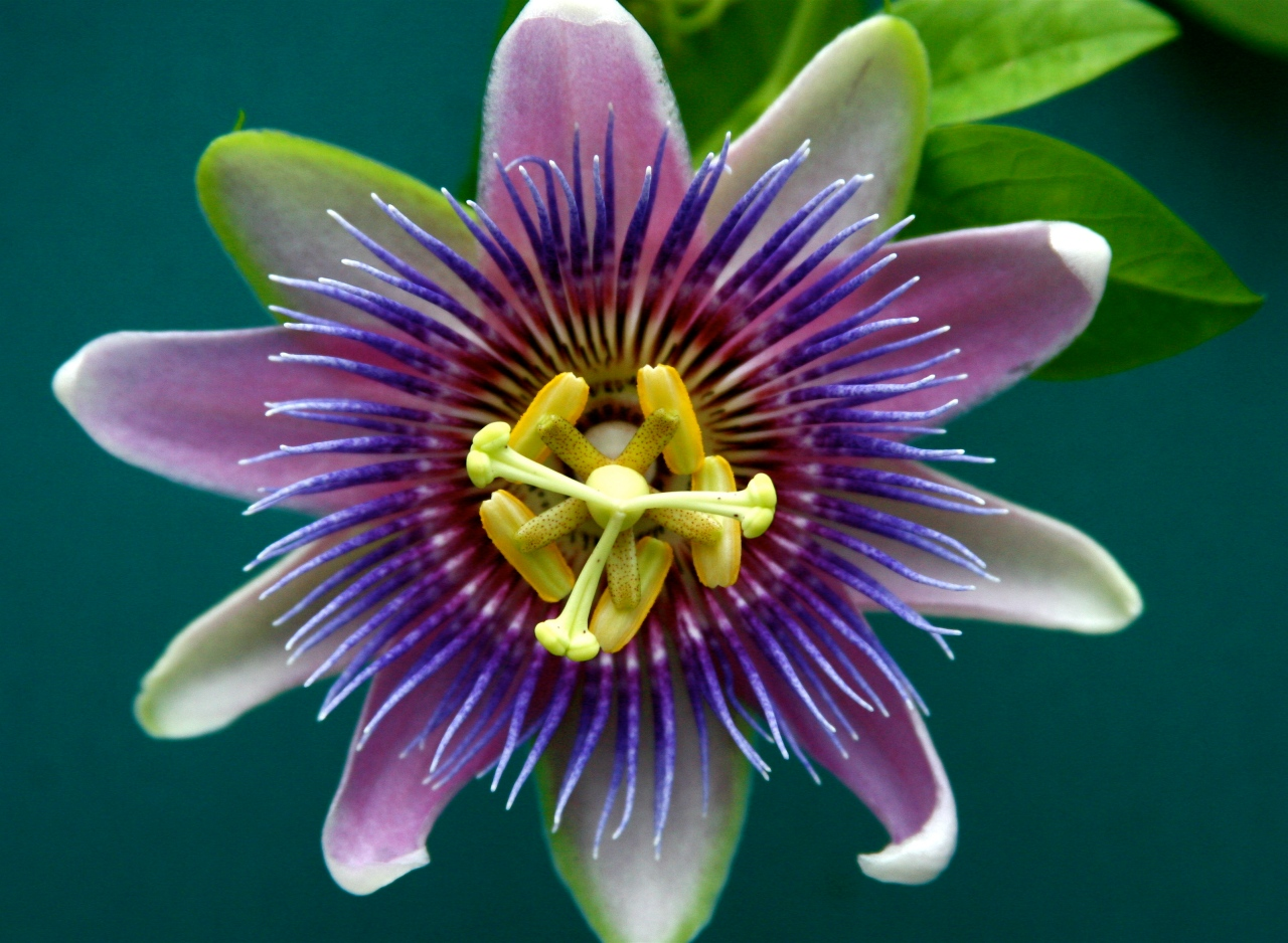 Passion Flower Passiflora Incarnata Lone Pine