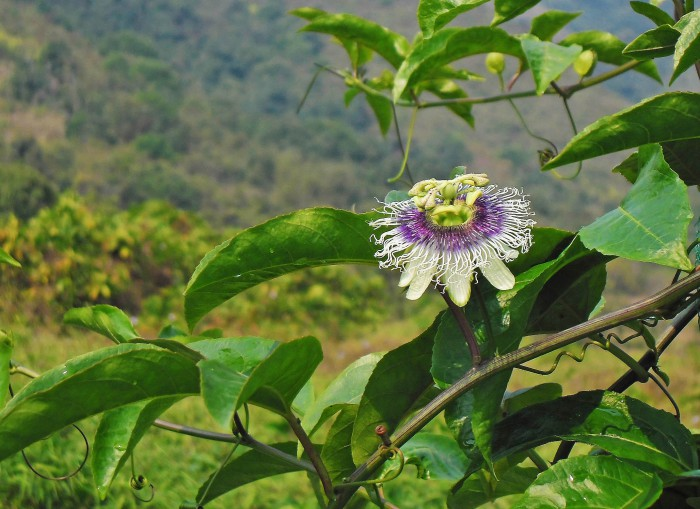 A passion flower on the vine.