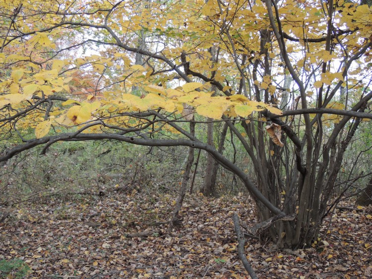 A Witch Hazel in the autumn; note the multiple branches.