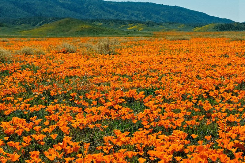 California Poppies tend to spread out over vast distances in open fields.