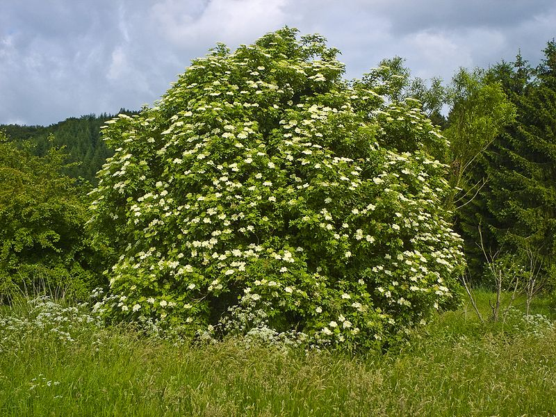 An black elder shrub.