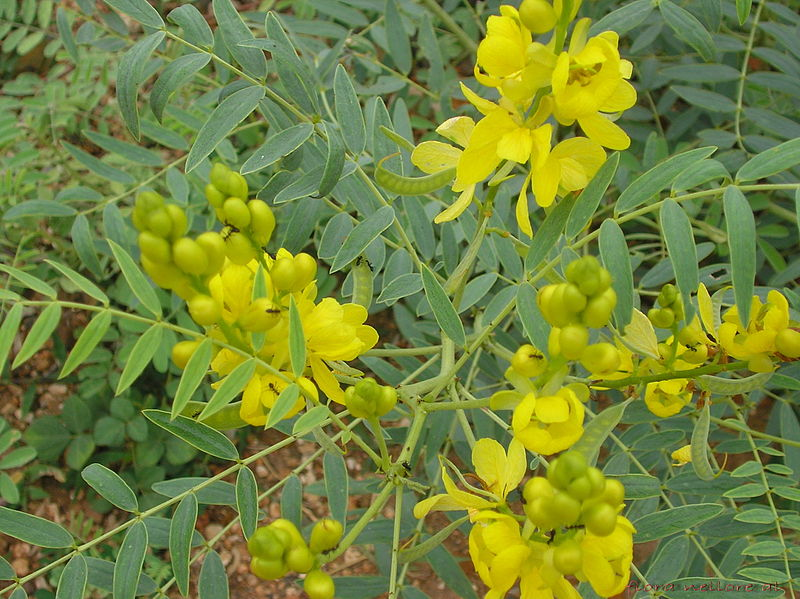 Flowers and leaves of the Senna plant