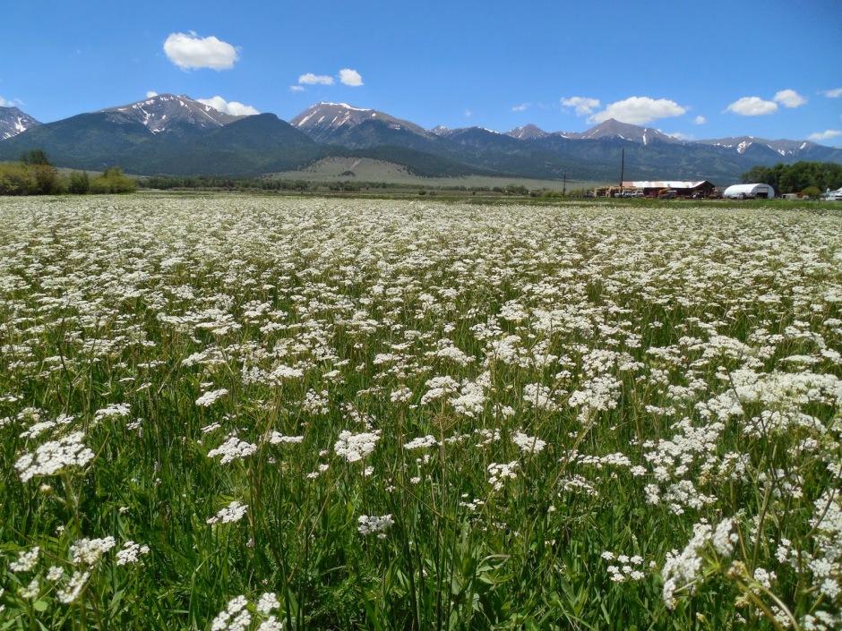 A field of caraway in Colorado