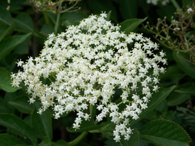 A cluster of cream white elder flowers in the spring.