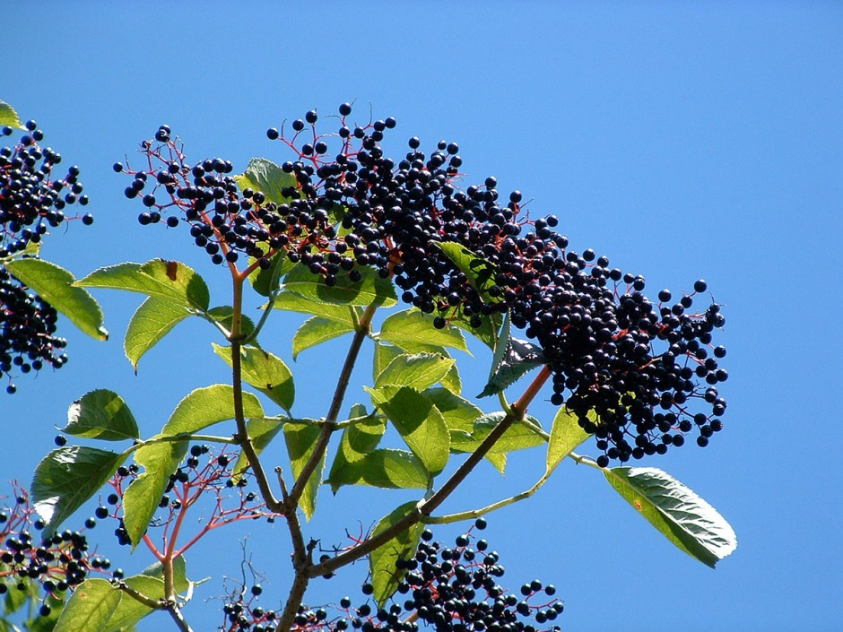 The deep purple summer berries of the elder tree.