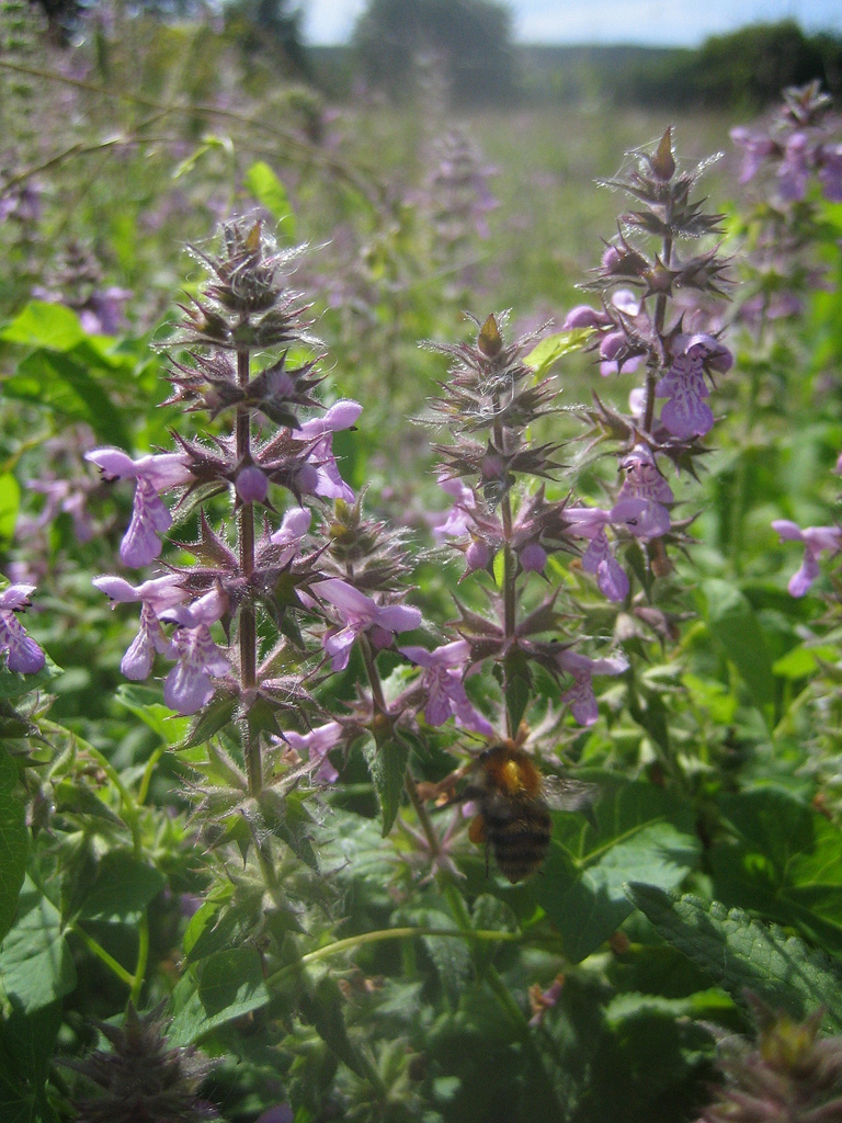 Bees love Stachys!
