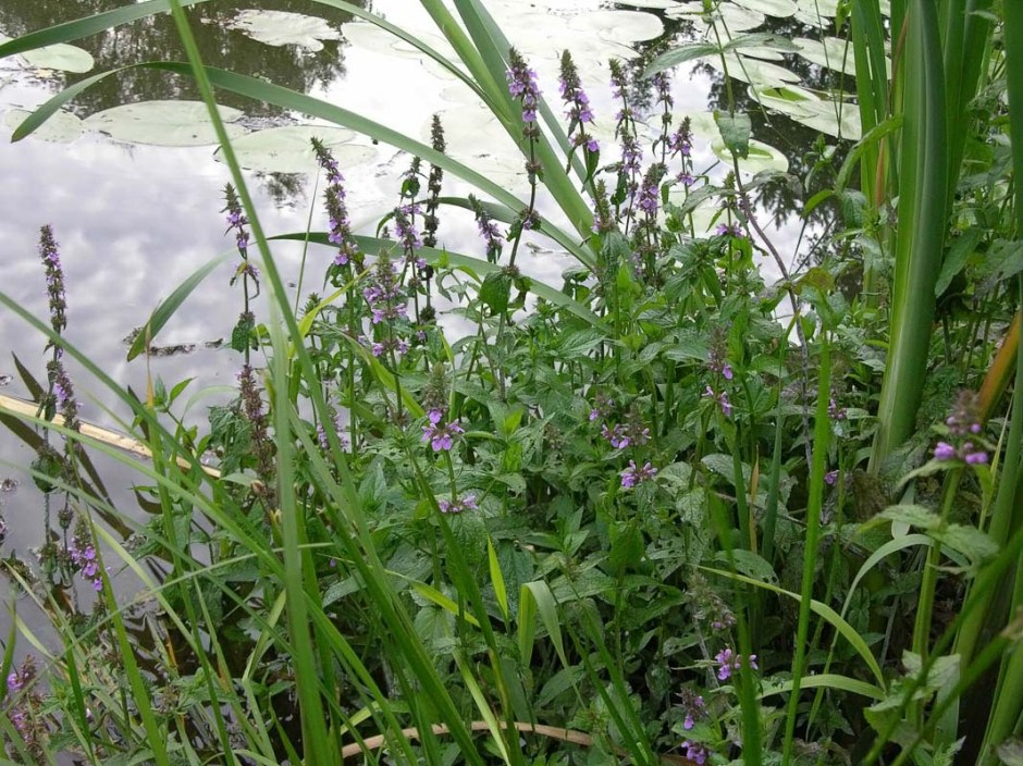 Woundwort growing at the water's edge.
