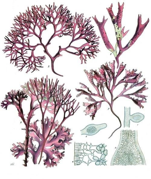 A botanical illustration of Irish Moss.