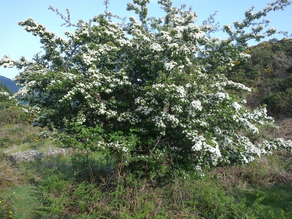 A scrubby Hawthorne tree in a field.