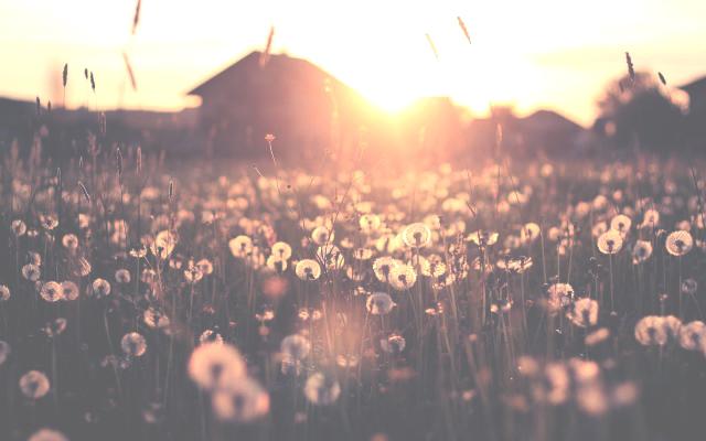 tumblr_static_dandelion-field-sunset-640x400