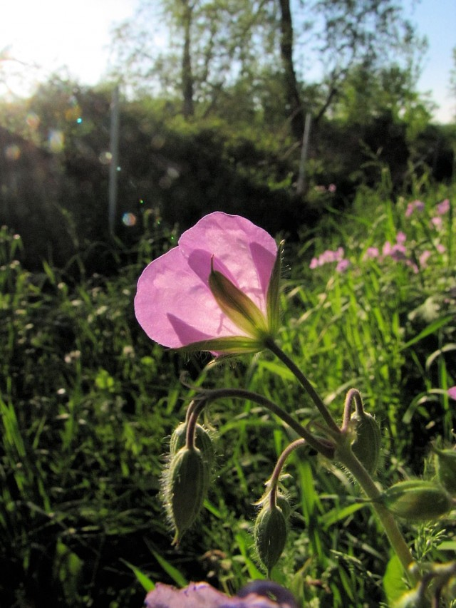 wild-geranium-backlit-640x853