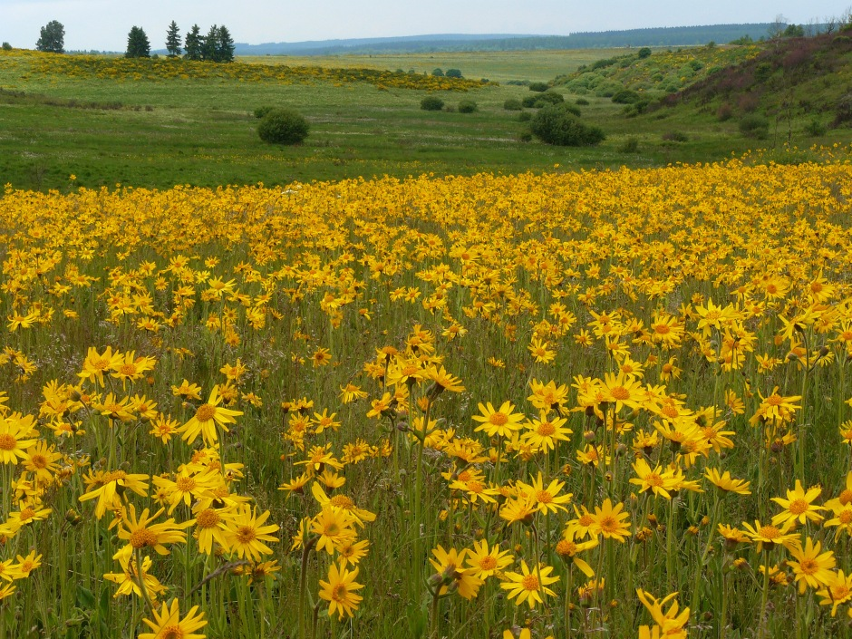 Arnica montana growing in an alpine field