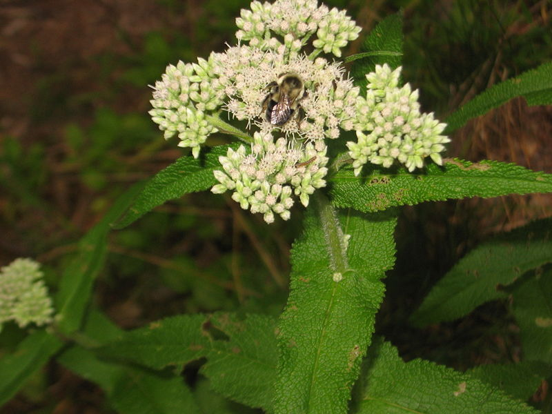 800px-Eupatorium_perfoliatum_with_bee_and_caterpillar