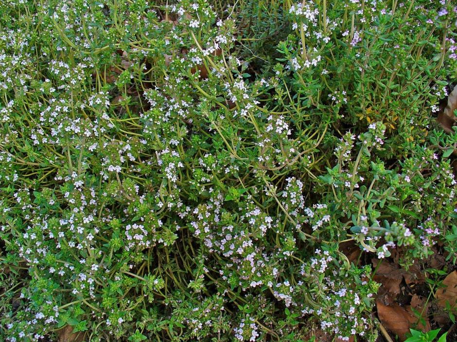 Thymus_vulgaris_001