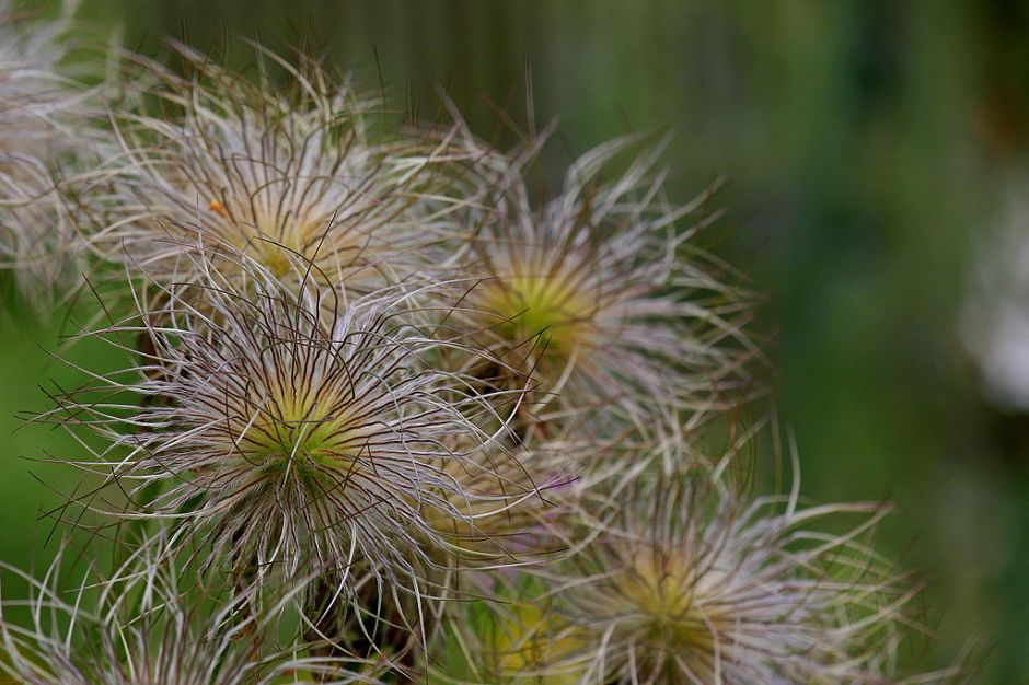 Fruiting bodies of the pasque flower