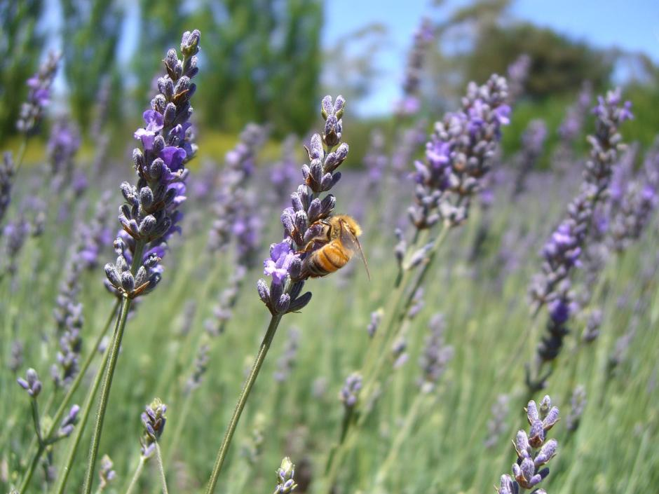 One of the many lavender varietals