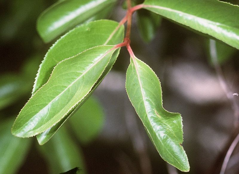 Close up of the leaves of the Black Haw