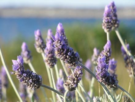 lavender-19235_640