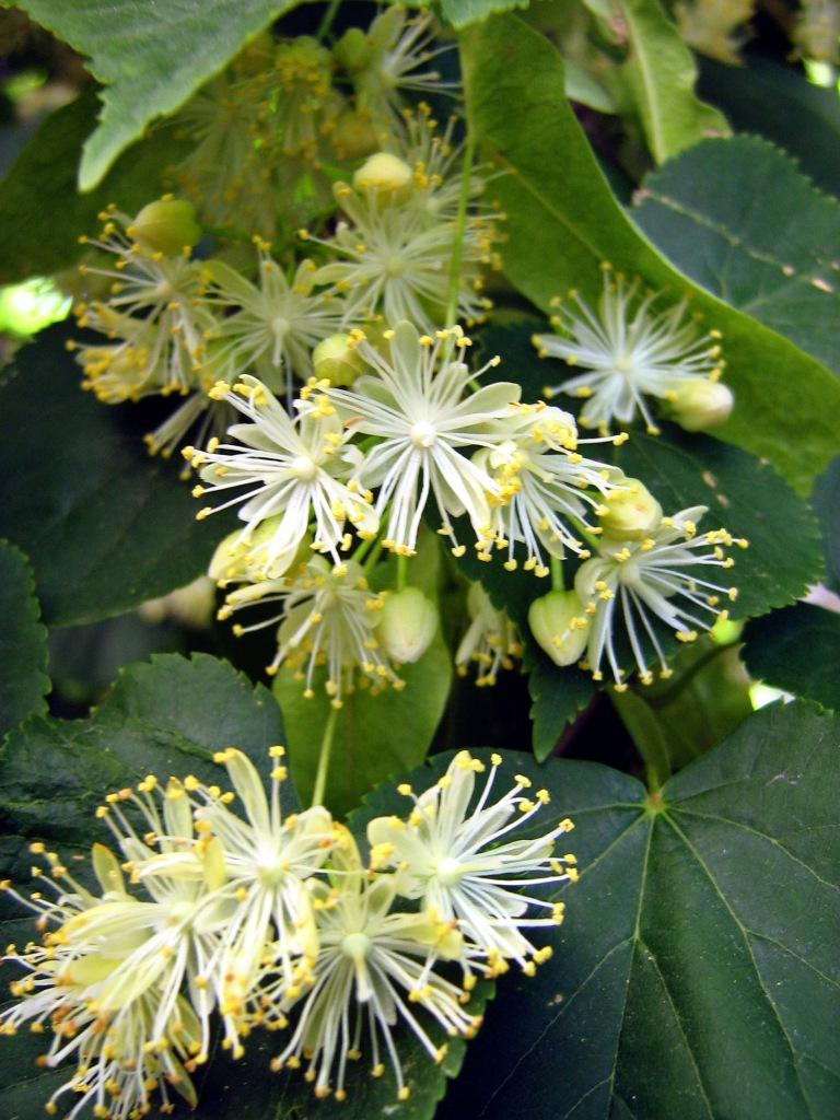 Tilia._Flower