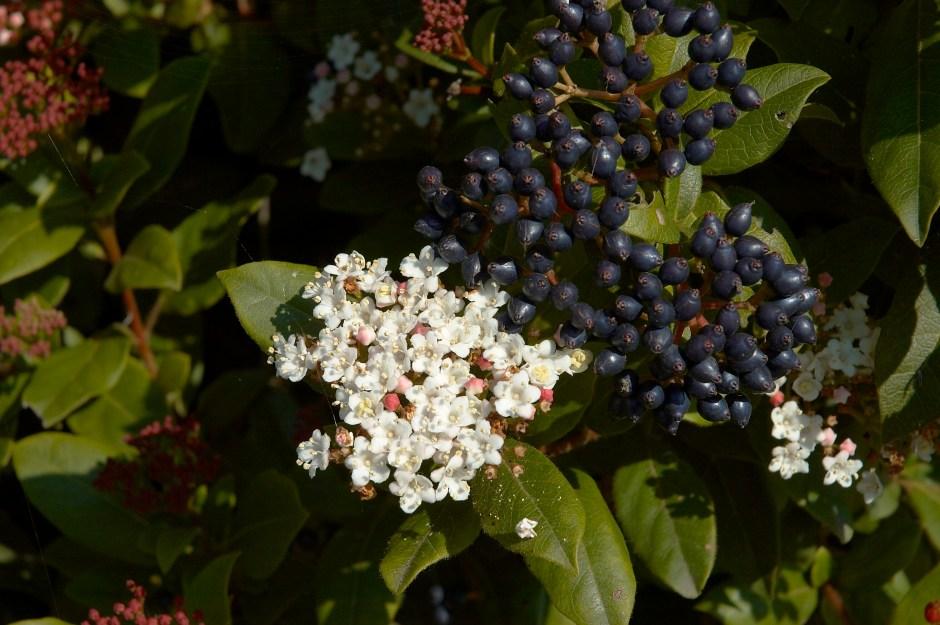 Fruits and flower of a Viburnum shrub