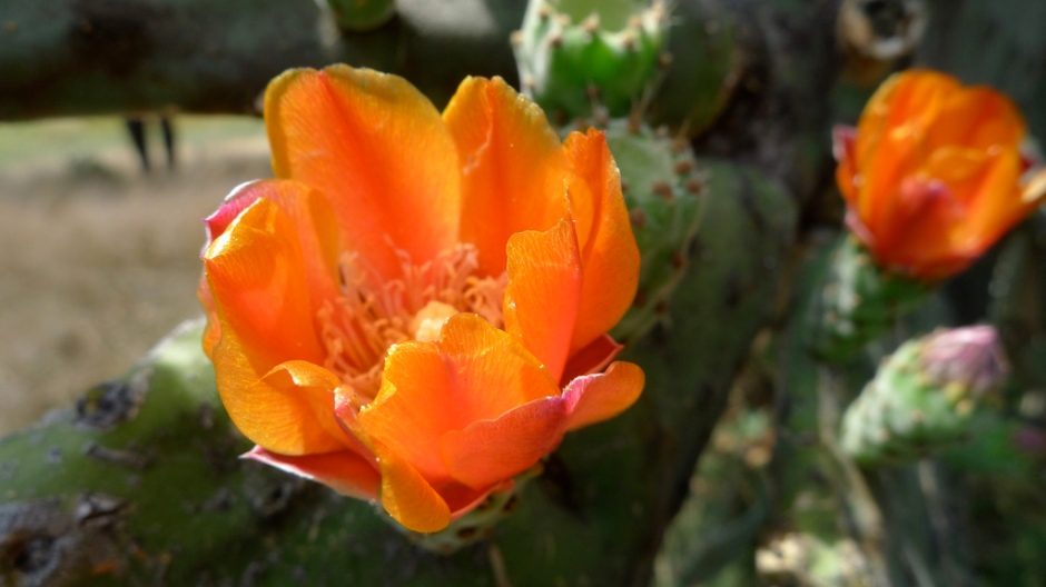 A prickly pear species in bloom.