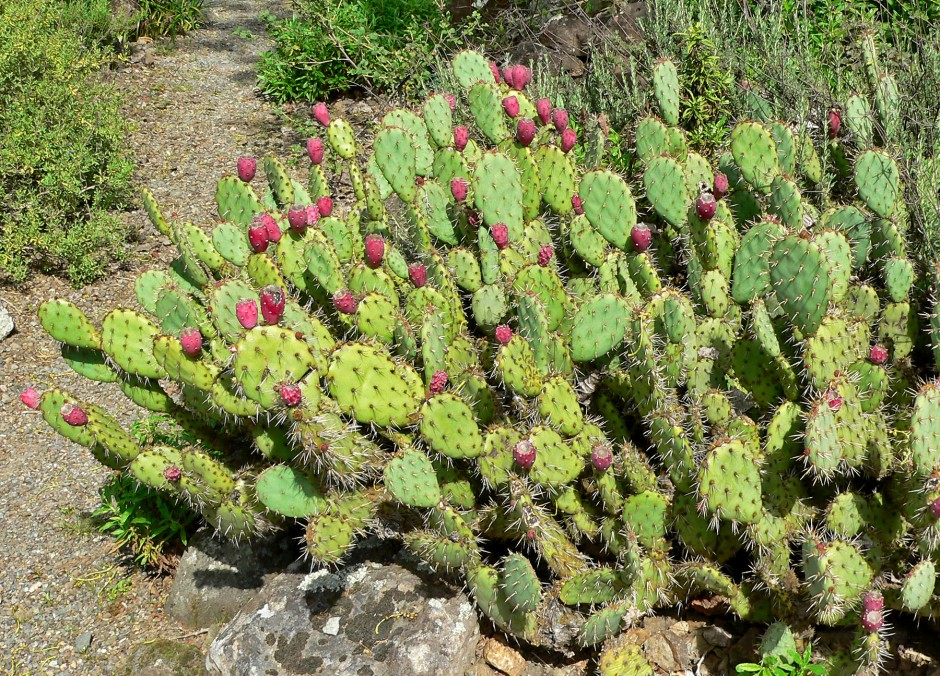Opuntia growing in clumps in full sun.