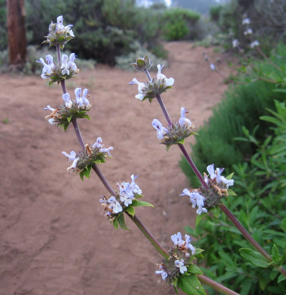 how-to-forage-san-diego-sage-flowers